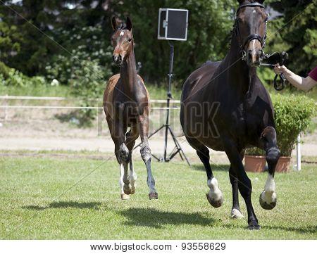 Foals Holsteiner