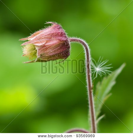 Water Avens, Geum Rivale Flower With Small Fuzz Macro On A Blurred Background, Selective Focus, Shal