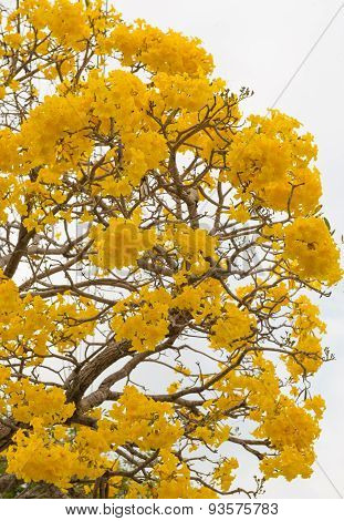 close up Silver trumpet tree Tree of gold Paraguayan silver trumpet tre poster