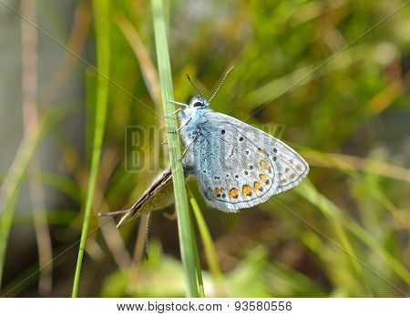 Silver-studded Blue Butterfly - Plebejus argus- male