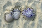 Dangerous jellyfish dead on beach shore sand in Mediterranean sea poster