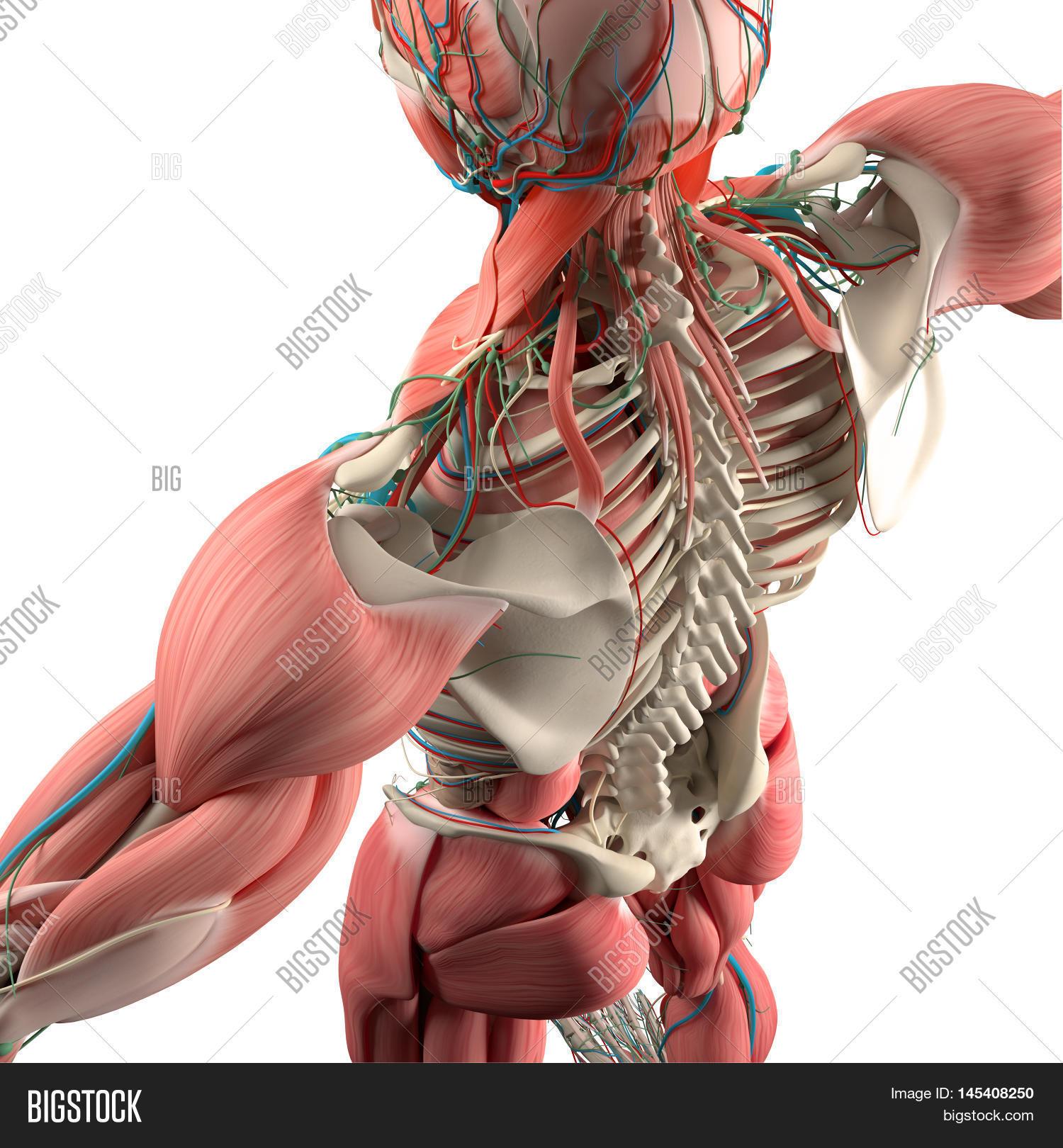 Human Anatomy, Back, Image & Photo (Free Trial) | Bigstock
