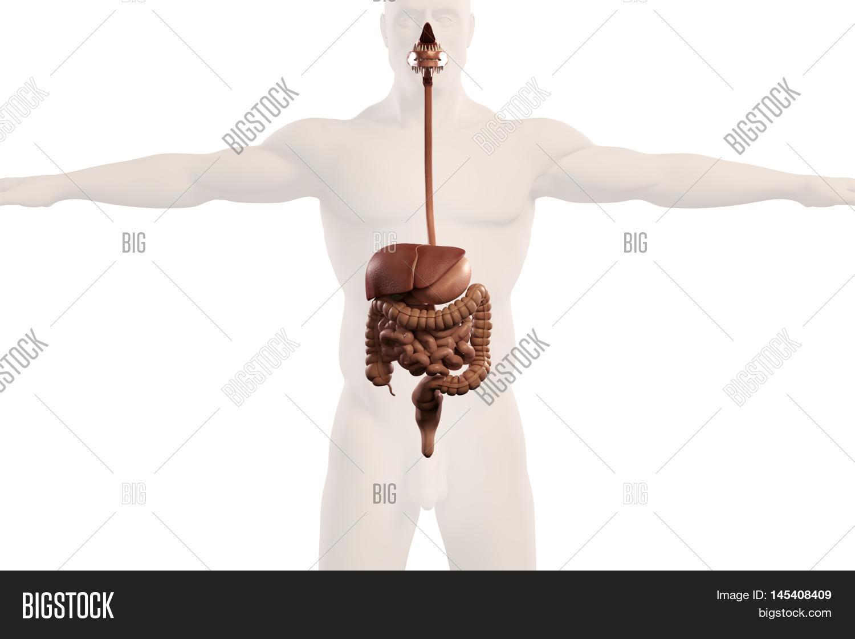 Human Anatomy Xray View Digestive Image & Photo | Bigstock