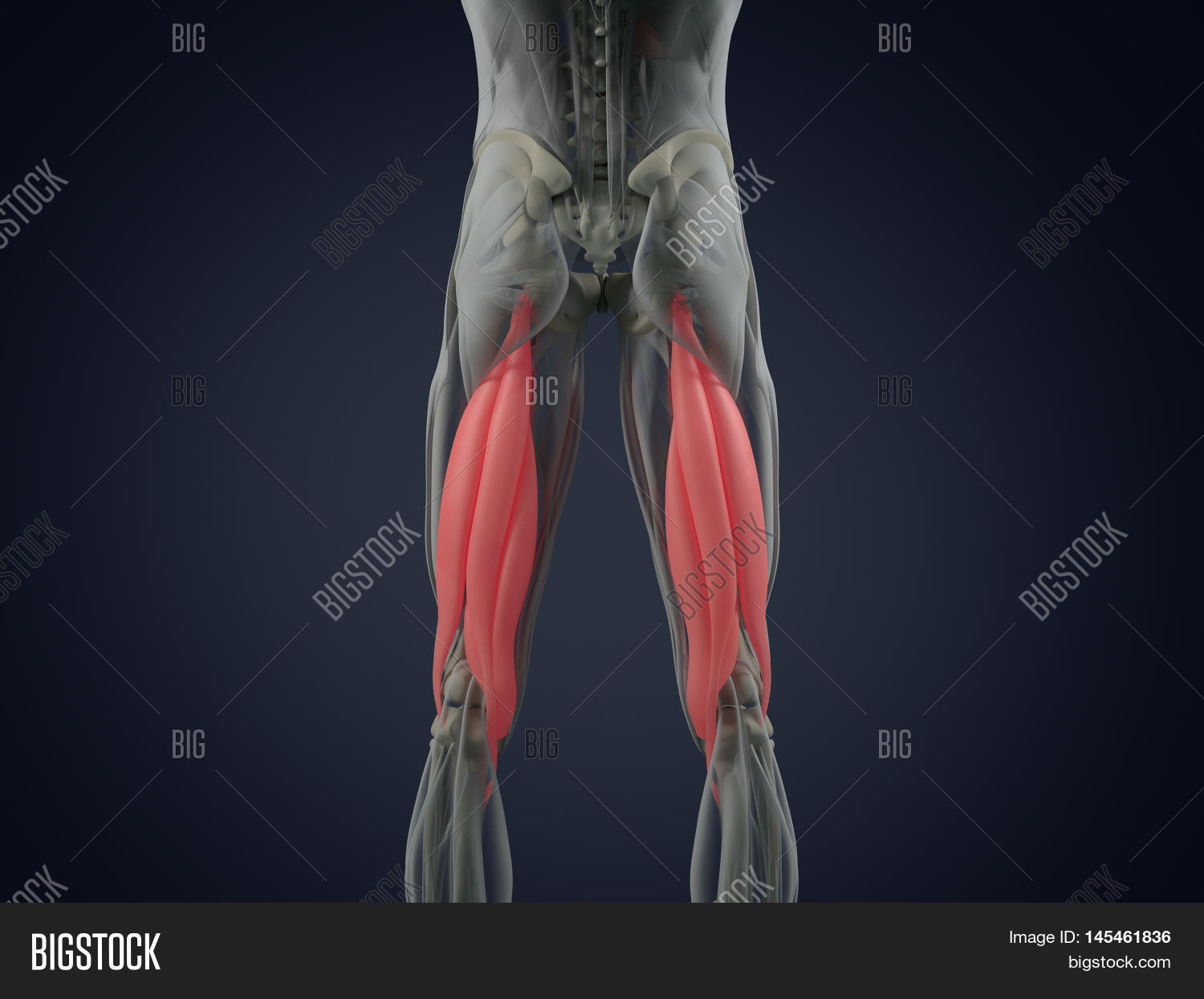 Hamstring Muscle Group Image Photo Free Trial Bigstock