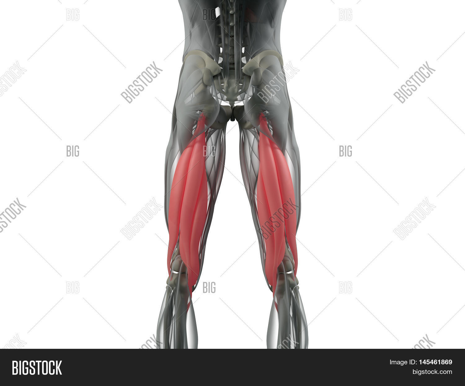Hamstring Muscle Group Image & Photo (Free Trial) | Bigstock