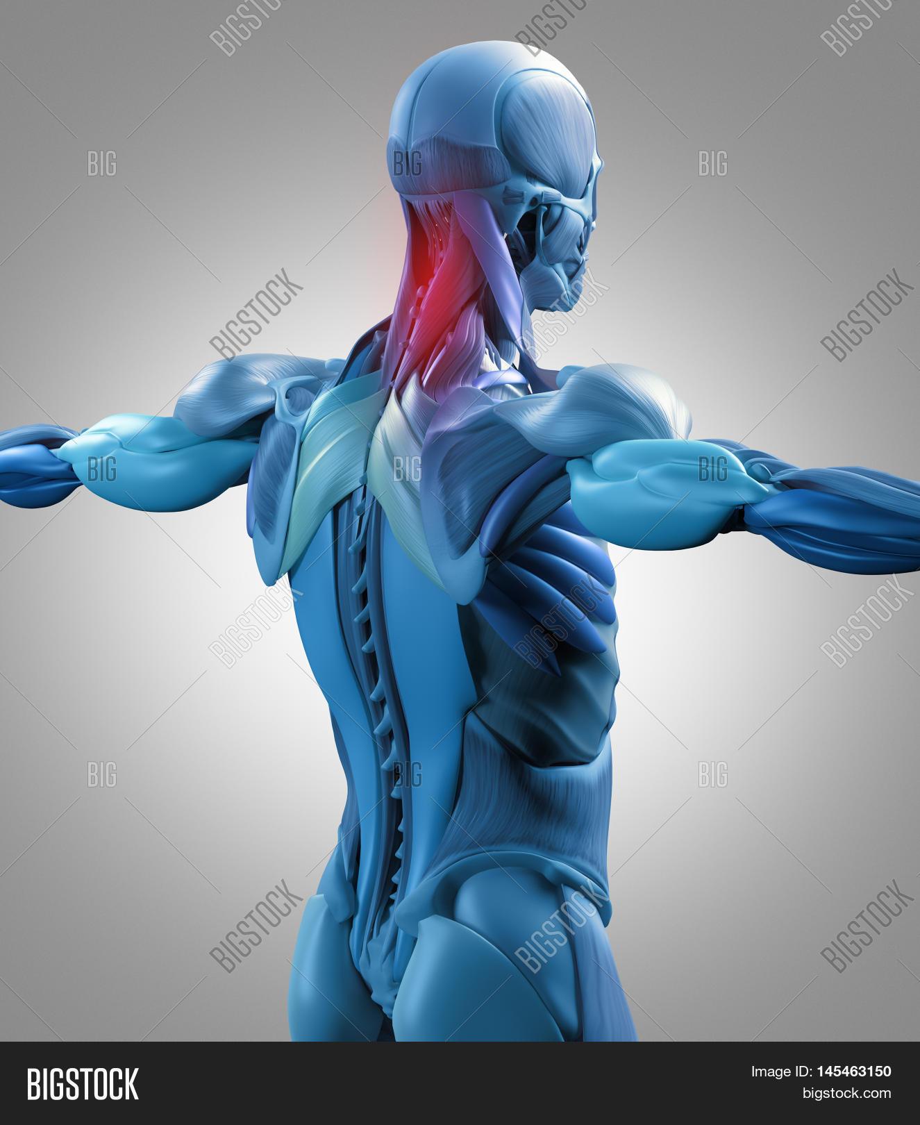 Human Anatomy Muscle Image Photo Free Trial Bigstock
