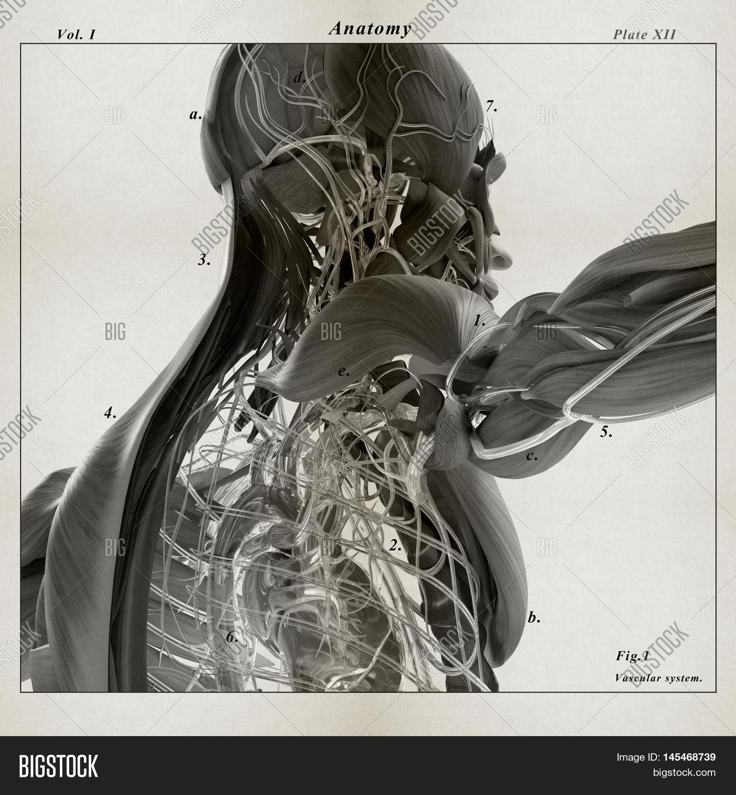 Human Anatomy 3d Image Photo Free Trial Bigstock