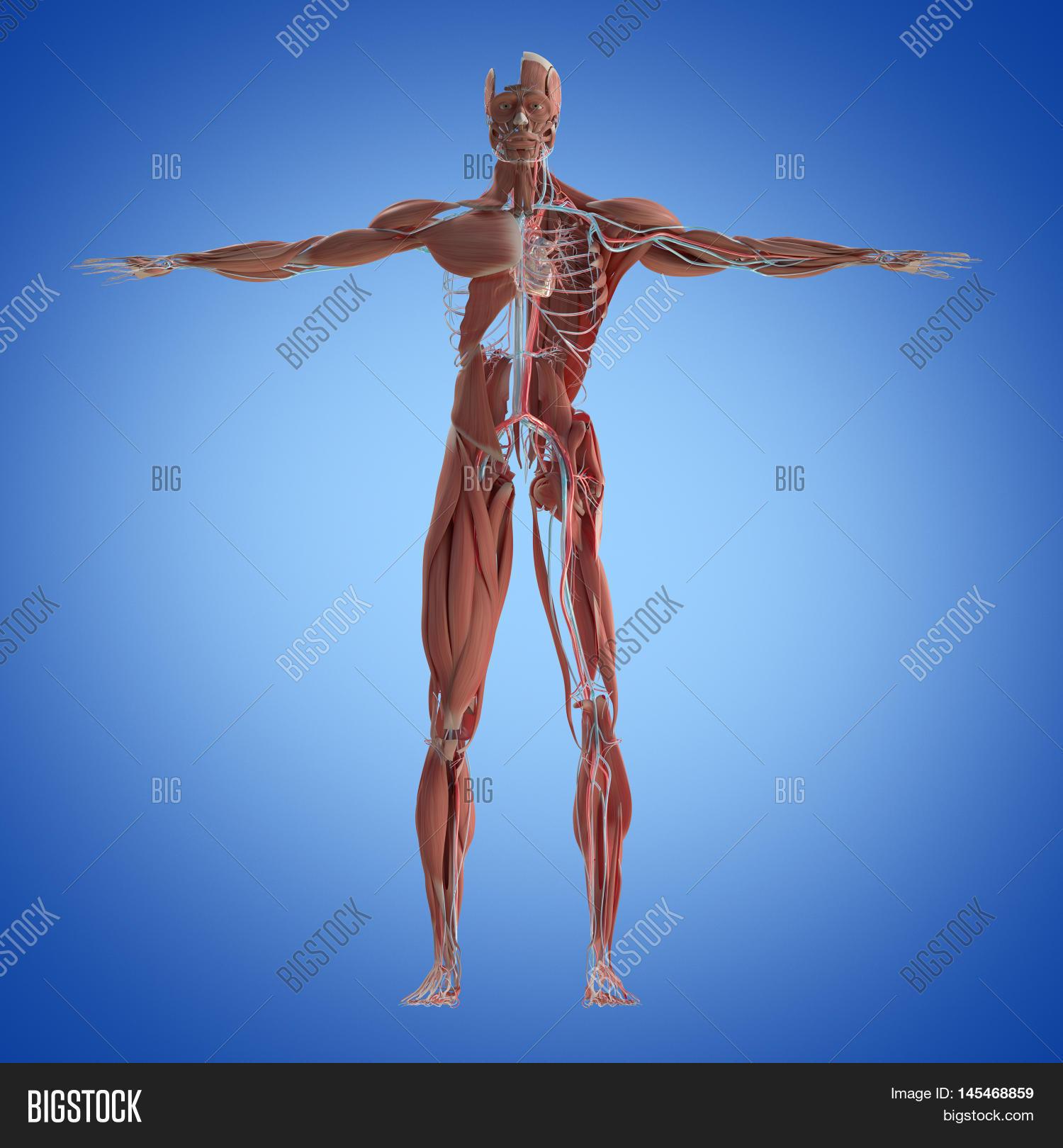Human Anatomy Full Image Photo Free Trial Bigstock
