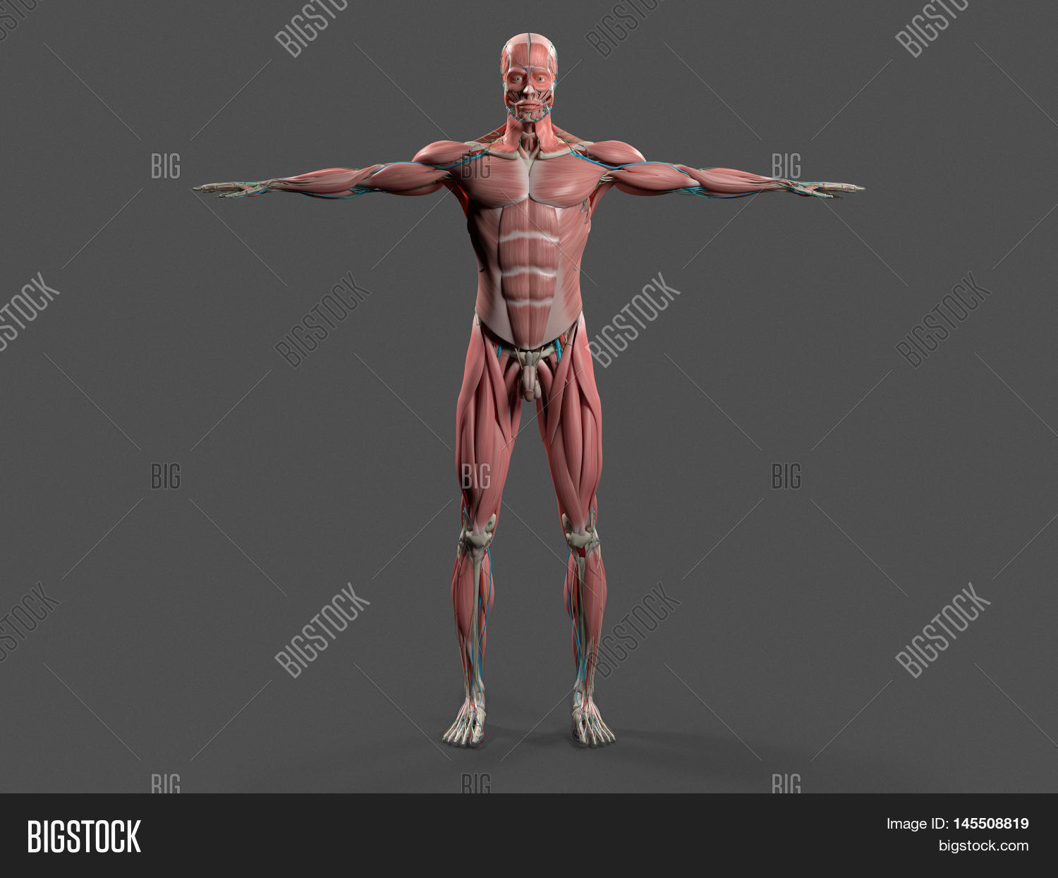Human Anatomy Showing Image Photo Free Trial Bigstock