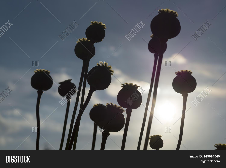 Poppy Flower Capsule Image Photo Free Trial Bigstock