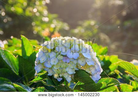 Beautiful flowers in the morning from Doi Inthanon Chiang Mai Thailand