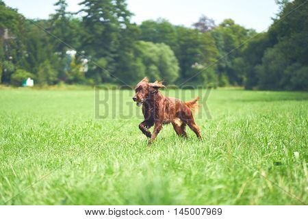 Red Irish setter playing on the meadow in the summer with a fun