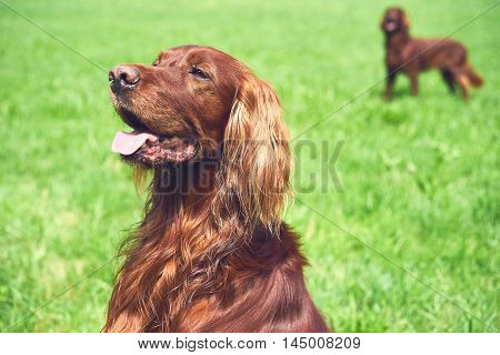 Beautiful adult Irisch setter portrait staying on the grass