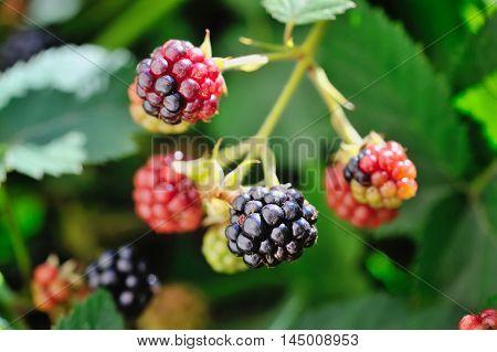 Growing Fresh Blackberries In A Garden. Close Up