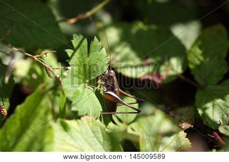 A dark bush cricket (Pholidoptera griseoaptera) on a leaf.