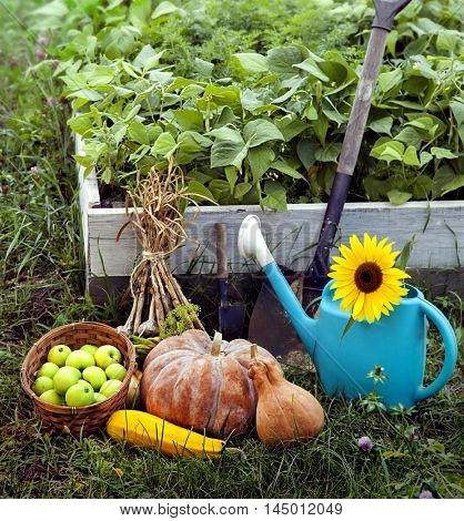 Rich Harvest in the Garden of the high beds and Garden Tools (Pumpkin, Apples, Onions, Garlic, Carrots, cucumbers)