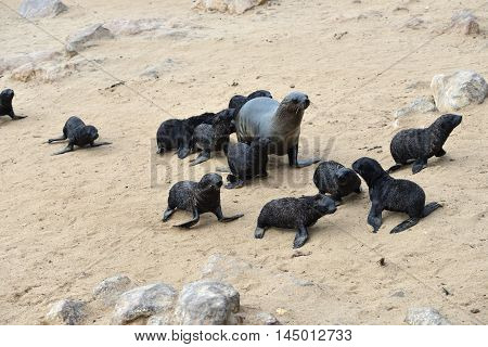 Babies cape fur seals with its mother on the stone coast of Atlantic ocean. Cape Cross Skeleton Coast Namibia. The biggest colony in the World