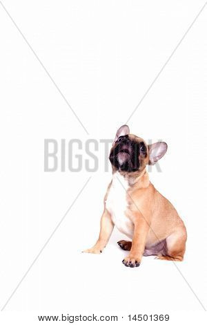 Beautiful little french bulldog puppy on white background poster