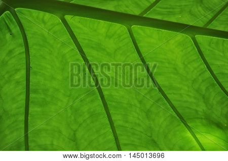 Close up of lgreen eaf showing veins.