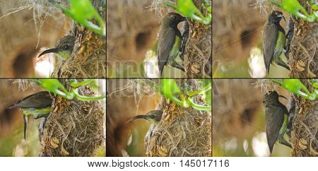 Patents of olive-backed yellow-bellied sunbird visiting a baby at their hanging flask-shaped nest (Cinnyris jugularis)