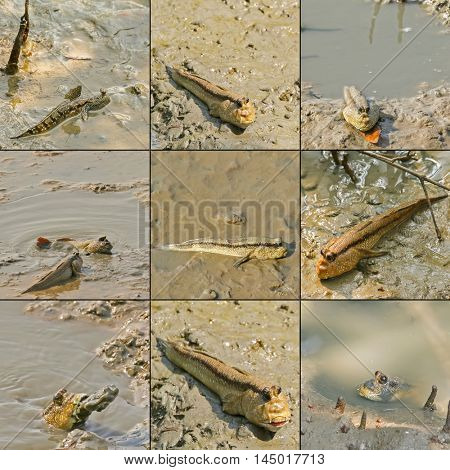 Giant mudskipper, Blue spotted mudskipper crawling with fins on wet muddy land in mangrove forest, Thailand