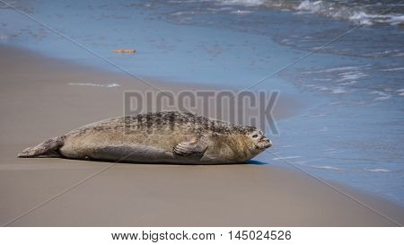 Common grey seal on a sandbank in the Dutch Waddenzee