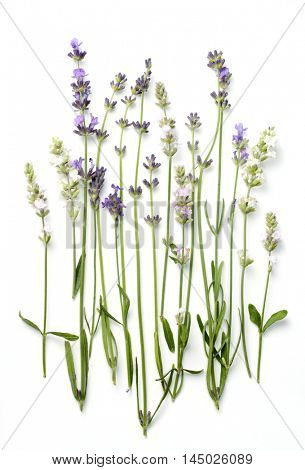 white, pink and violet lavender varieties