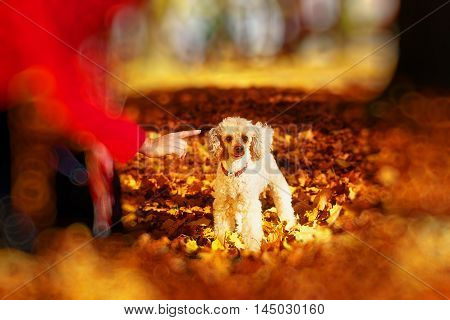 Woman Admonishes Poodle In A Beautiful Autumn Park And Blur Effect At The Edges.