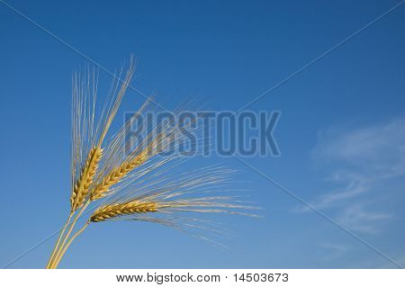 Gold wheat ears in the blue sky