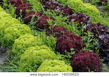 salad in a vegetable patch - colorful diversity