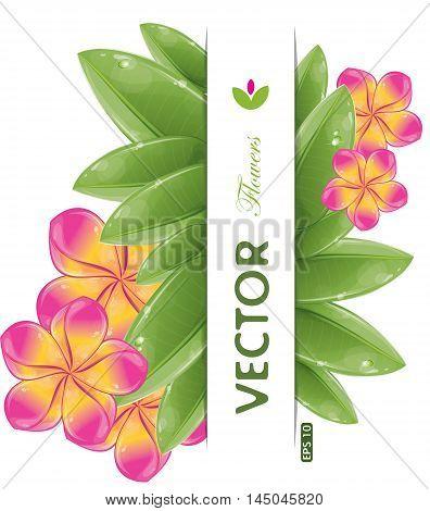 Pink frangipani flowers, isolated on white, vector illustration, eps-10
