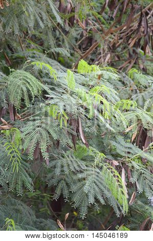fresh green Leucaena glauca plants in nature garden