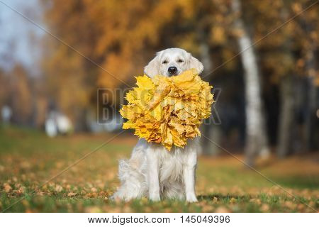 golden retriever dog holding a bunch of fallen leaves outdoors in autumn