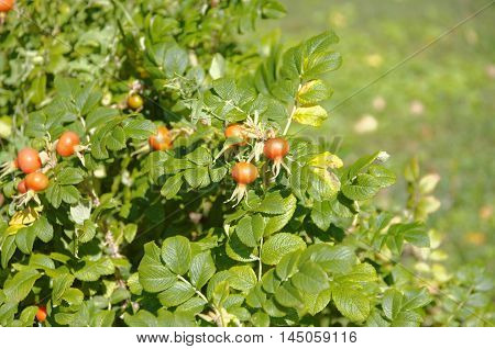 Briar fruits, wild rose hip shrub in nature.