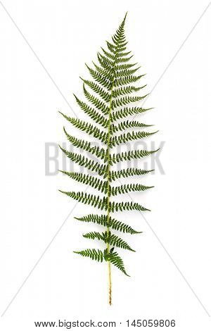 Green fern leaf on white background
