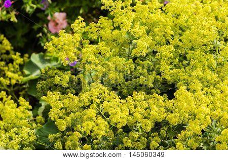 Greenish yellow Lady's mantle plant (Alchemilla mollis)