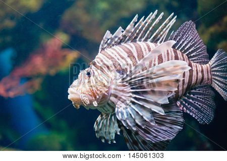 LionfishPterois volitans, color image,horizontal image, close up