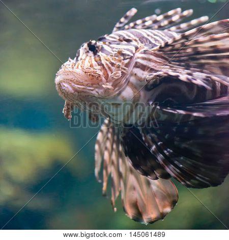 Lionfish Pterois volitans, square image, color image