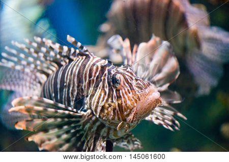 Lionfish Pterois volitans, horizontal image, color image