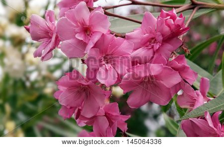 Blooming oleander with lots of beautiful bright pink flowers and green leaves lit by the sun.