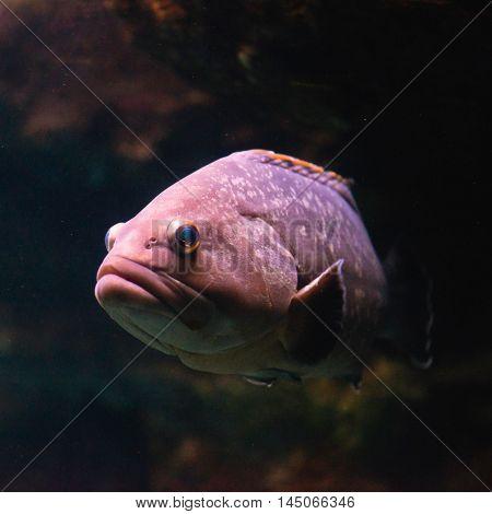 Dusky Grouper Epinephelus marginatus, color image, square image, close up