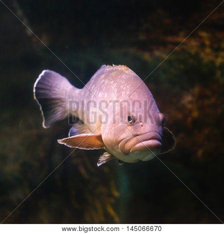 Dusky Grouper Epinephelus marginatus, color image, square