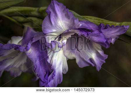 Gladiolus Flower Garden Sentiment Blossom Floral Impression