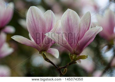 Magnolia Flower Spring Garden Nature Blossom Impression