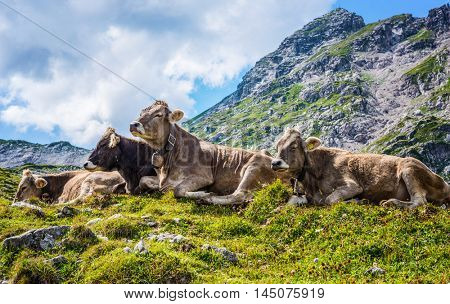 Herd of brown cows resting in an alpine pasture on Grosser Daumen in Germany during the summer months in a close up view
