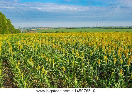 Industrial Landscape with wield of millet in central Ukraine near Dnepr city