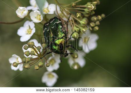 Flower Chafer Scarab Beetle Garden Summer Impression