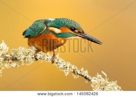 The Common Kingfisher (Alcedo atthis) or Eurasian Kingfisher or river Kingfisher in Spain
