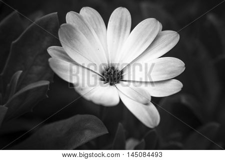 close up of an African daisy - Osteospermum