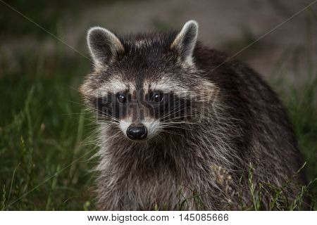 Common Raccoon Procyon Lotor Animals Wildlife Portrait